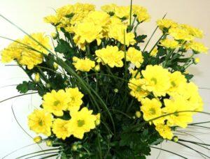 buchet-de-11-crizanteme-galbene-2165358